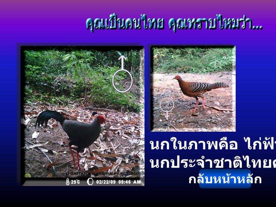 นกในภาพคือ ไก่ฟ้าพญาลอ นกประจำชาติไทยครับ กลับหน้าหลัก