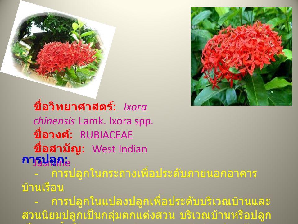 ชื่อวิทยาศาสตร์ : Ixora chinensis Lamk. Ixora spp. ชื่อวงศ์ : RUBIACEAE ชื่อสามัญ : West Indian Jasmine การปลูก : - การปลูกในกระถางเพื่อประดับภายนอกอา