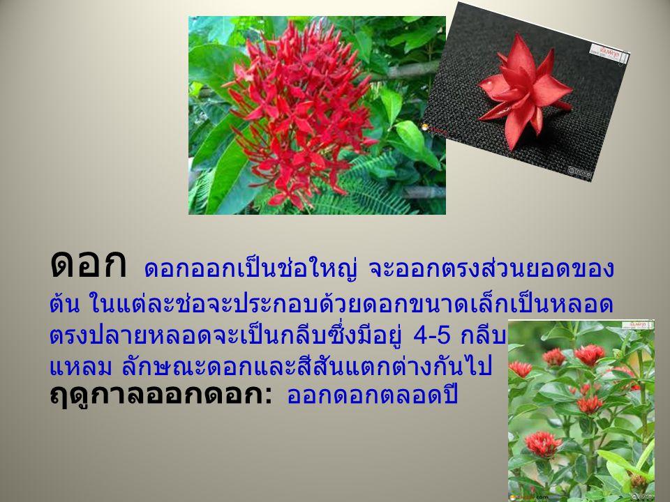 ดอก ดอกออกเป็นช่อใหญ่ จะออกตรงส่วนยอดของ ต้น ในแต่ละช่อจะประกอบด้วยดอกขนาดเล็กเป็นหลอด ตรงปลายหลอดจะเป็นกลีบซึ่งมีอยู่ 4-5 กลีบ ปลายกลีบ แหลม ลักษณะดอกและสีสันแตกต่างกันไป ฤดูกาลออกดอก : ออกดอกตลอดปี