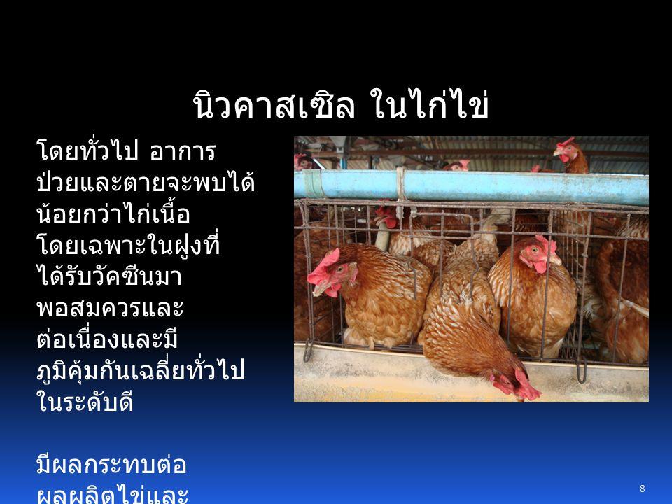 19 แนวทางการแก้ไขและฟื้นฟูผลผลิต ไข่ไก่ จากปัญหานิวคาสเซิล การปฏิบัติระหว่างการติดเชื้อและป่วย แนวทางการฟื้นฟูสุขภาพไก่ การติดตามระบบภูมิคุ้มกันของฝูงไก่ สม่ำเสมอ ปรับปรุงระบบการป้องกันโรค