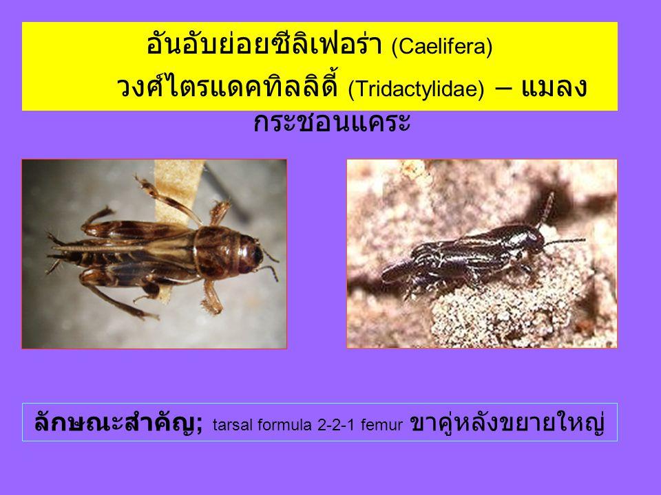 อันอับย่อยซีลิเฟอร่า (Caelifera) วงศ์ไตรแดคทิลลิดี้ (Tridactylidae) – แมลง กระชอนแคระ ลักษณะสำคัญ ; tarsal formula 2-2-1 femur ขาคู่หลังขยายใหญ่