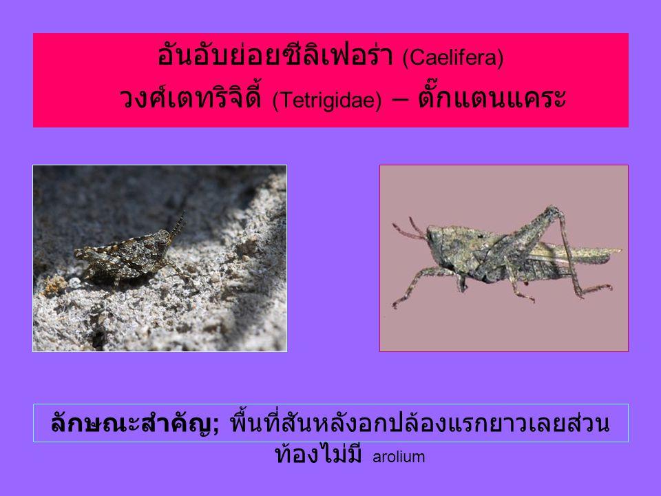 อันอับย่อยซีลิเฟอร่า (Caelifera) วงศ์เตทริจิดี้ (Tetrigidae) – ตั๊กแตนแคระ ลักษณะสำคัญ ; พื้นที่สันหลังอกปล้องแรกยาวเลยส่วน ท้องไม่มี arolium