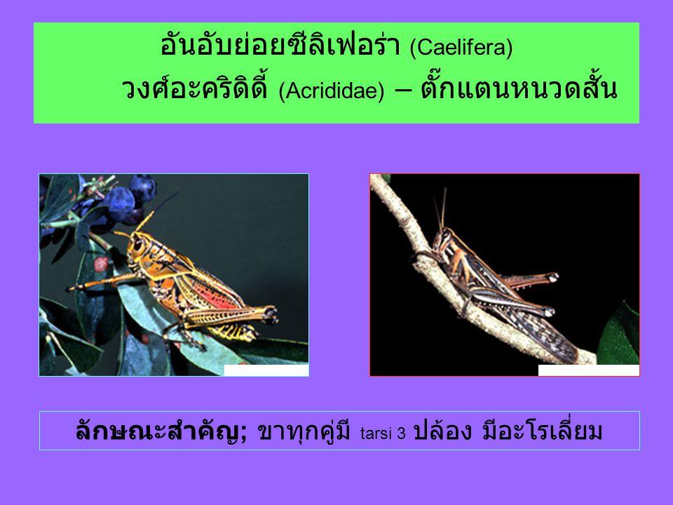 อันอับย่อยซีลิเฟอร่า (Caelifera) วงศ์อะคริดิดี้ (Acrididae) – ตั๊กแตนหนวดสั้น ลักษณะสำคัญ ; ขาทุกคู่มี tarsi 3 ปล้อง มีอะโรเลี่ยม