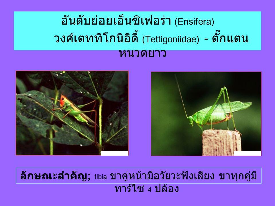 อันดับย่อยเอ็นซิเฟอร่า (Ensifera) วงศ์เตททิโกนิอิดี้ (Tettigoniidae) - ตั๊กแตน หนวดยาว ลักษณะสำคัญ ; tibia ขาคู่หน้ามีอวัยวะฟังเสียง ขาทุกคู่มี ทาร์ไซ 4 ปล้อง