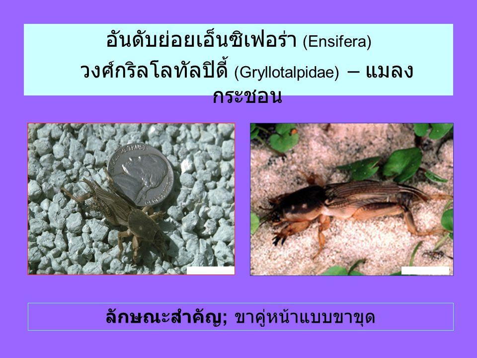 อันดับย่อยเอ็นซิเฟอร่า (Ensifera) วงศ์กริลโลทัลปิดี้ (Gryllotalpidae) – แมลง กระชอน ลักษณะสำคัญ ; ขาคู่หน้าแบบขาขุด