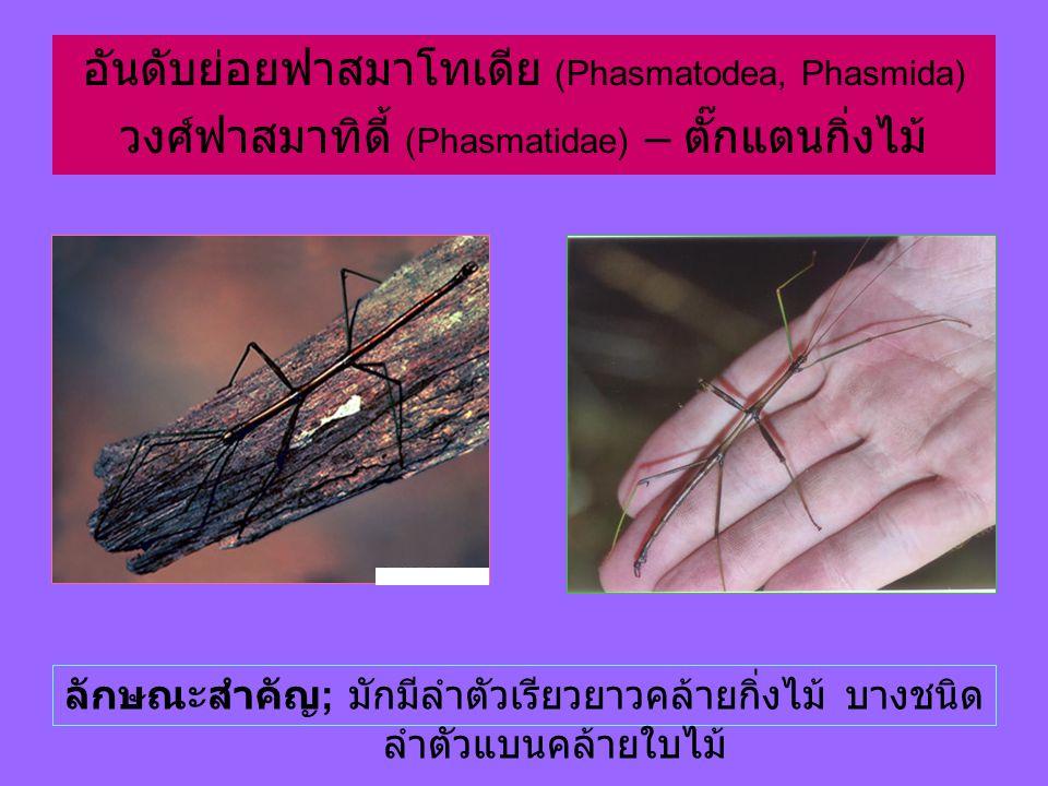 อันดับย่อยฟาสมาโทเดีย (Phasmatodea, Phasmida) วงศ์ฟาสมาทิดี้ (Phasmatidae) – ตั๊กแตนกิ่งไม้ ลักษณะสำคัญ ; มักมีลำตัวเรียวยาวคล้ายกิ่งไม้ บางชนิด ลำตัวแบนคล้ายใบไม้