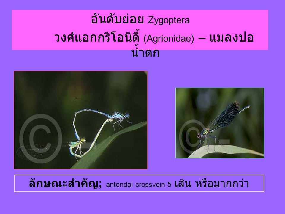 อันดับย่อย Zygoptera วงศ์แอกกริโอนิดี้ (Agrionidae) – แมลงปอ น้ำตก ลักษณะสำคัญ ; antendal crossvein 5 เส้น หรือมากกว่า
