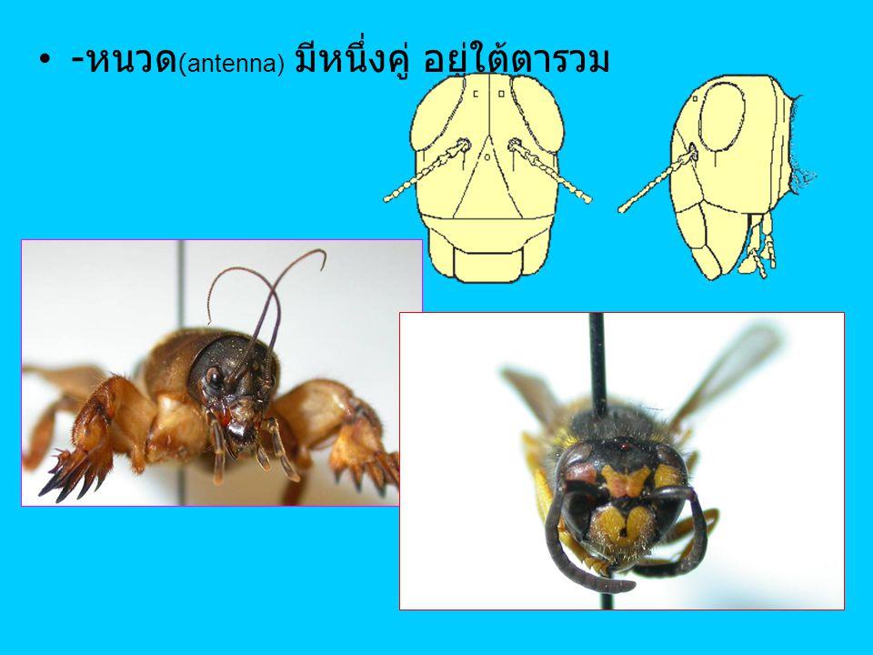 - หนวด (antenna) มีหนึ่งคู่ อยู่ใต้ตารวม
