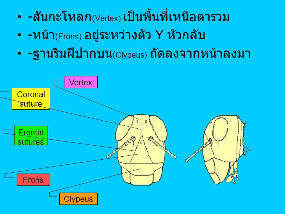 - สันกะโหลก (Vertex) เป็นพื้นที่เหนือตารวม - หน้า (Frons) อยู่ระหว่างตัว Y หัวกลับ - ฐานริมฝีปากบน (Clypeus) ถัดลงจากหน้าลงมา Vertex Coronal suture Fr