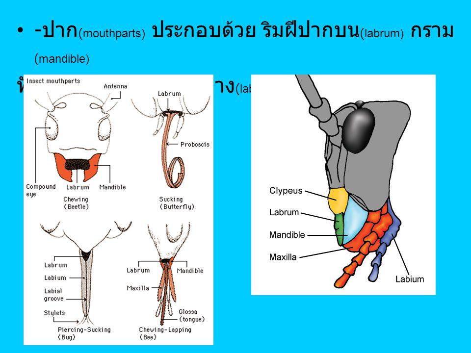 - ปาก (mouthparts) ประกอบด้วย ริมฝีปากบน (labrum) กราม (mandible) ฟัน (maxilla) และริมฝีปากล่าง (labium)
