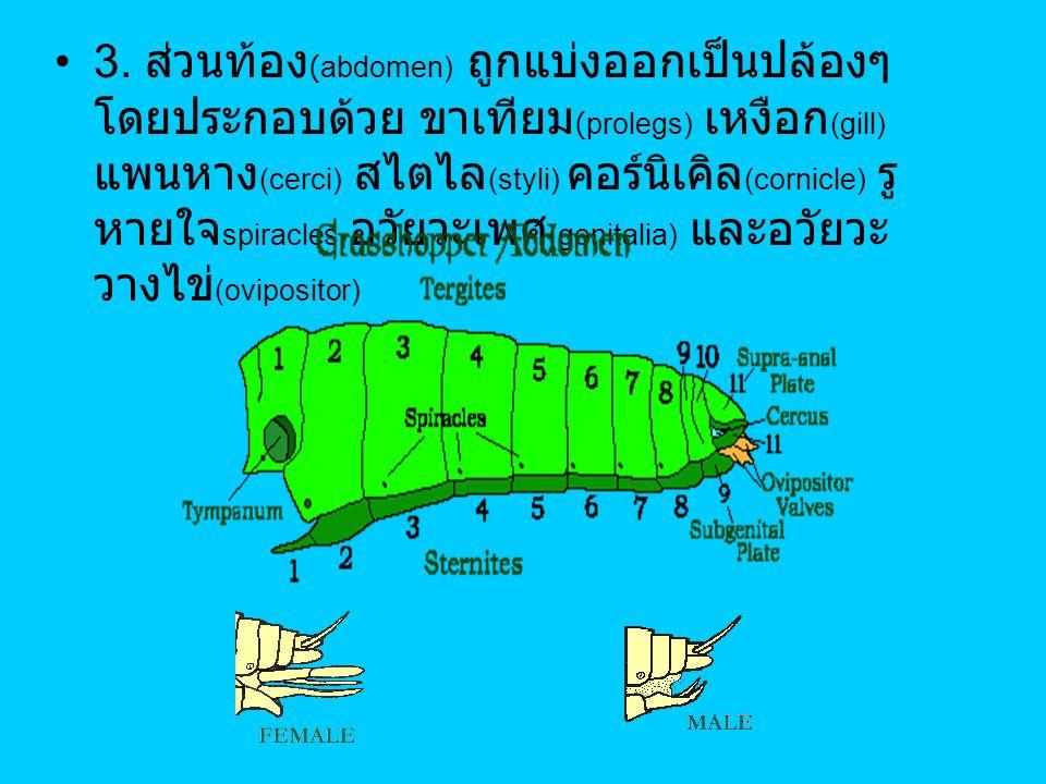 3. ส่วนท้อง (abdomen) ถูกแบ่งออกเป็นปล้องๆ โดยประกอบด้วย ขาเทียม (prolegs) เหงือก (gill) แพนหาง (cerci) สไตไล (styli) คอร์นิเคิล (cornicle) รู หายใจ s