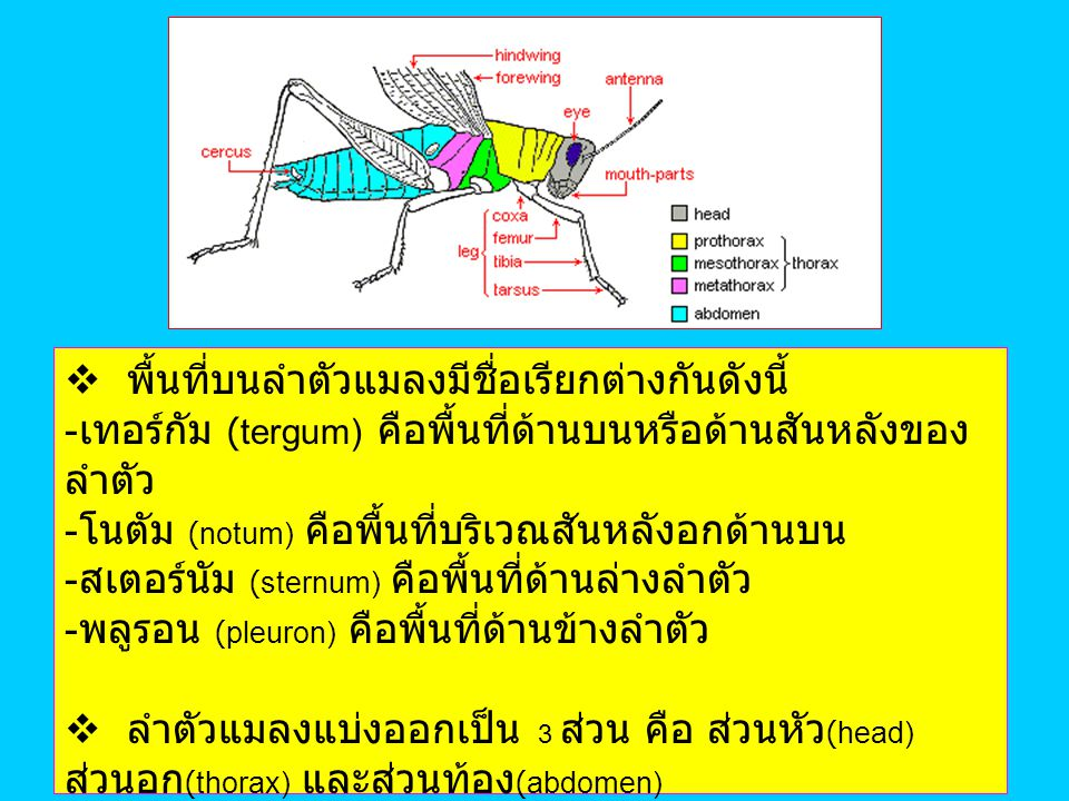 head thorax abdomen The Insect Body