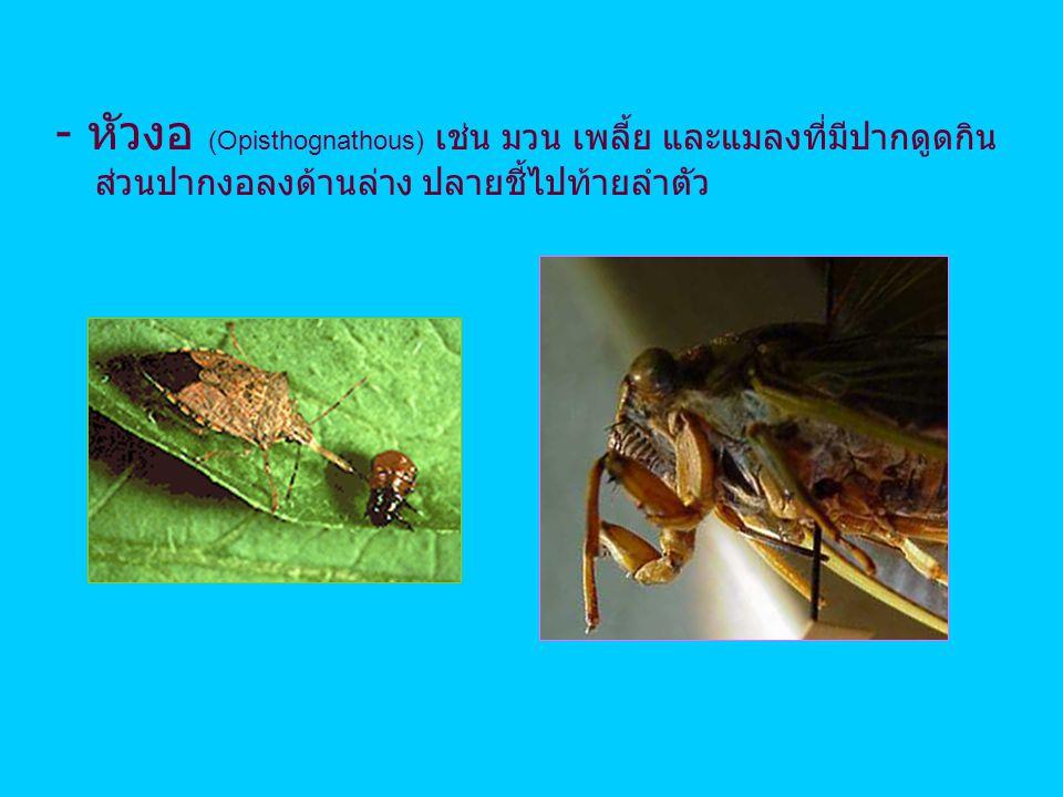 - หัวงอ (Opisthognathous) เช่น มวน เพลี้ย และแมลงที่มีปากดูดกิน ส่วนปากงอลงด้านล่าง ปลายชี้ไปท้ายลำตัว