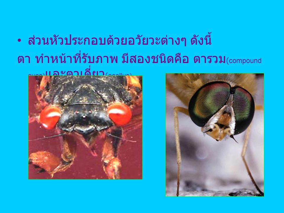 ส่วนหัวประกอบด้วยอวัยวะต่างๆ ดังนี้ ตา ทำหน้าที่รับภาพ มีสองชนิดคือ ตารวม (compound eyes) และตาเดี่ยว (ocellus)