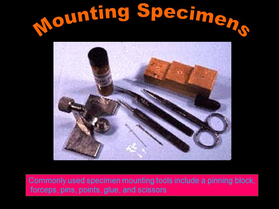 Commonly used specimen mounting tools include a pinning block, forceps, pins, points, glue, and scissors