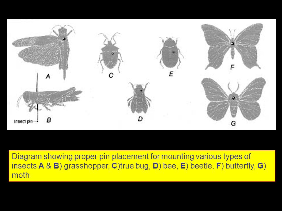 Diagram showing proper pin placement for mounting various types of insects A & B) grasshopper, C)true bug, D) bee, E) beetle, F) butterfly, G) moth