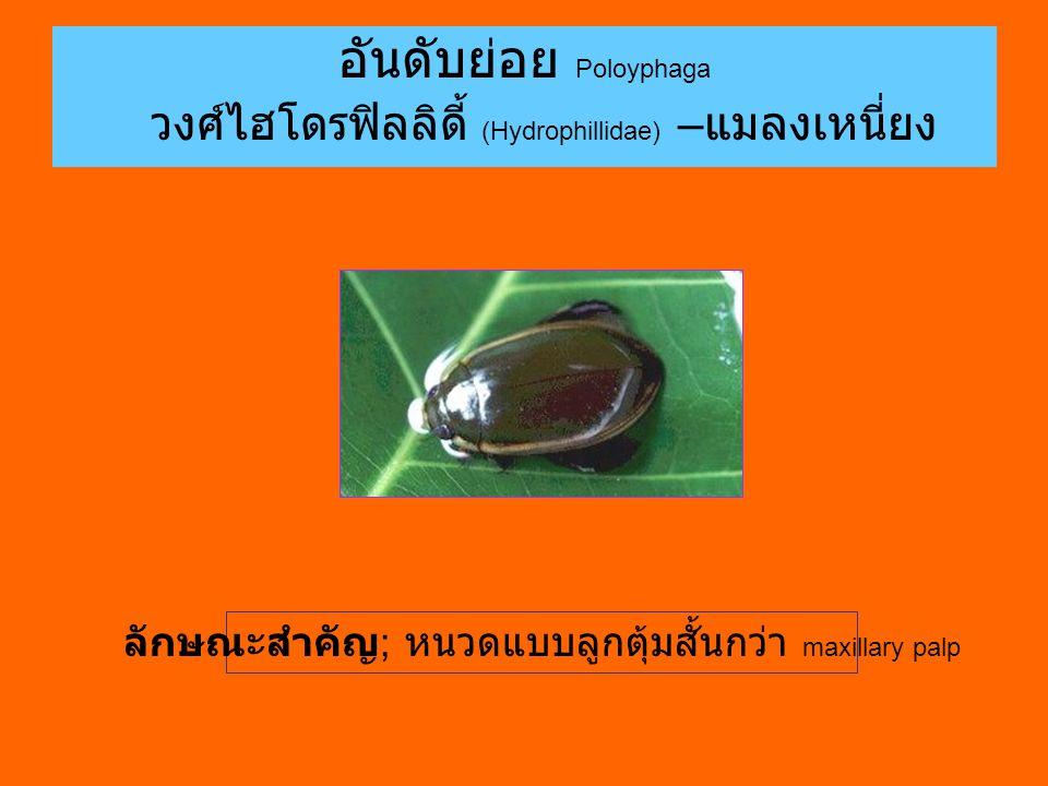 อันดับย่อย Poloyphaga วงศ์ไฮโดรฟิลลิดี้ (Hydrophillidae) – แมลงเหนี่ยง ลักษณะสำคัญ ; หนวดแบบลูกตุ้มสั้นกว่า maxillary palp