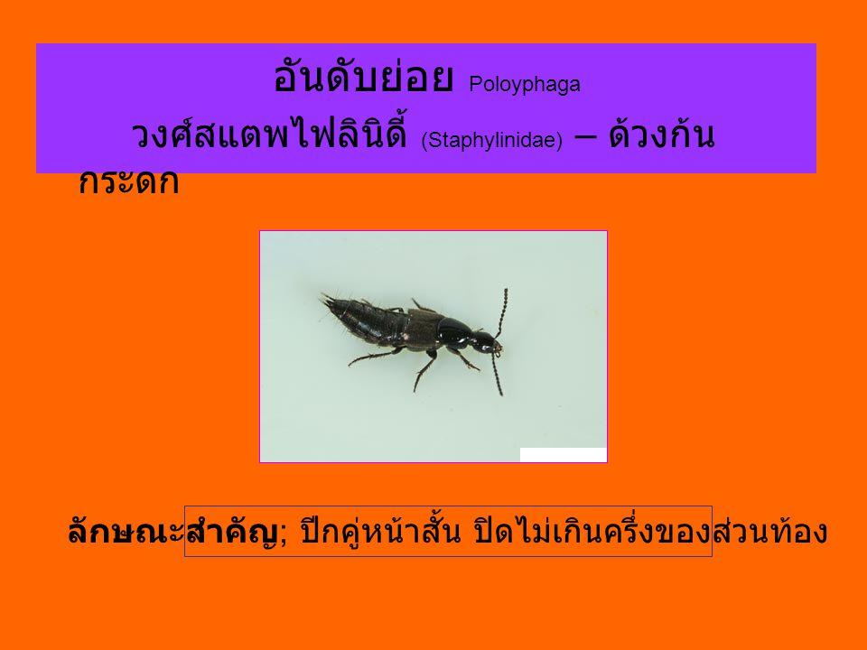 อันดับย่อย Poloyphaga วงศ์สแตพไฟลินิดี้ (Staphylinidae) – ด้วงก้น กระดก ลักษณะสำคัญ ; ปีกคู่หน้าสั้น ปิดไม่เกินครึ่งของส่วนท้อง