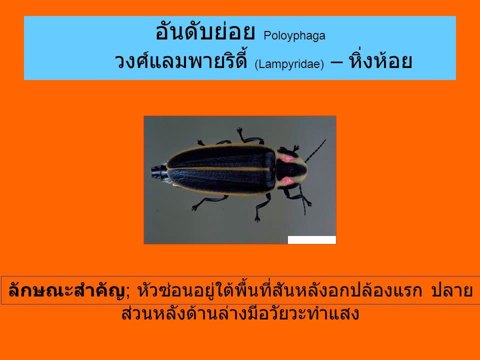 อันดับย่อย Poloyphaga วงศ์แลมพายริดี้ (Lampyridae) – หิ่งห้อย ลักษณะสำคัญ ; หัวซ่อนอยู่ใต้พื้นที่สันหลังอกปล้องแรก ปลาย ส่วนหลังด้านล่างมีอวัยวะทำแสง