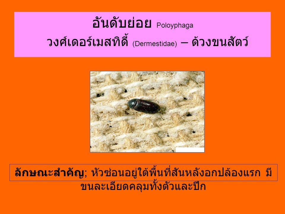 อันดับย่อย Poloyphaga วงศ์เดอร์เมสทิดี้ (Dermestidae) – ด้วงขนสัตว์ ลักษณะสำคัญ ; หัวซ่อนอยู่ใต้พื้นที่สันหลังอกปล้องแรก มี ขนละเอียดคลุมทั้งตัวและปีก