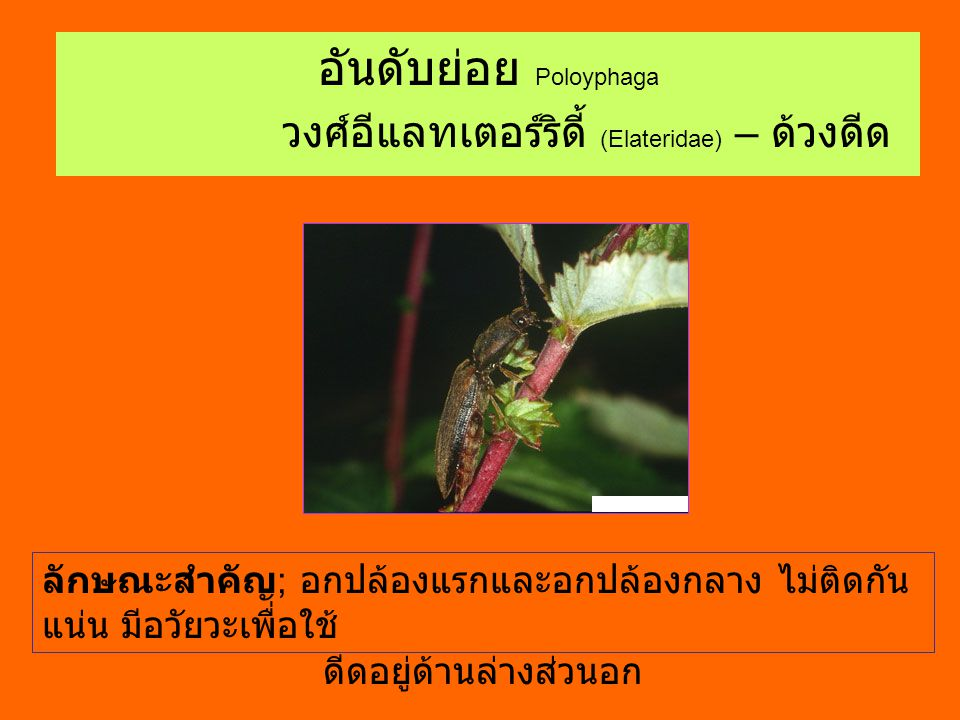 อันดับย่อย Poloyphaga วงศ์อีแลทเตอร์ริดี้ (Elateridae) – ด้วงดีด ลักษณะสำคัญ ; อกปล้องแรกและอกปล้องกลาง ไม่ติดกัน แน่น มีอวัยวะเพื่อใช้ ดีดอยู่ด้านล่า