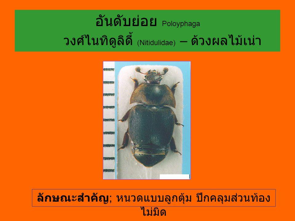 อันดับย่อย Poloyphaga วงศ์ไนทิดูลิดี้ (Nitidulidae) – ด้วงผลไม้เน่า ลักษณะสำคัญ ; หนวดแบบลูกตุ้ม ปีกคลุมส่วนท้อง ไม่มิด