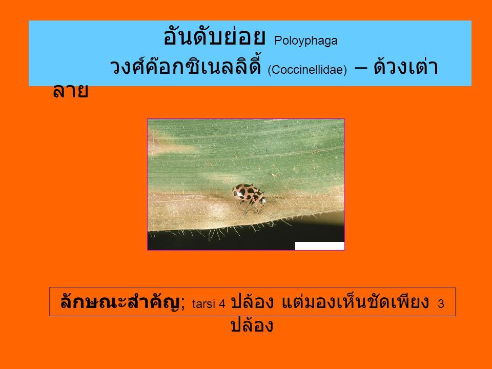 อันดับย่อย Poloyphaga วงศ์ค๊อกซิเนลลิดี้ (Coccinellidae) – ด้วงเต่า ลาย ลักษณะสำคัญ ; tarsi 4 ปล้อง แต่มองเห็นชัดเพียง 3 ปล้อง