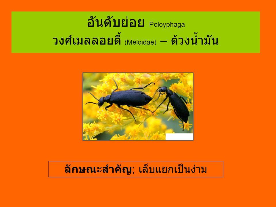 อันดับย่อย Poloyphaga วงศ์เมลลอยดี้ (Meloidae) – ด้วงน้ำมัน ลักษณะสำคัญ ; เล็บแยกเป็นง่าม