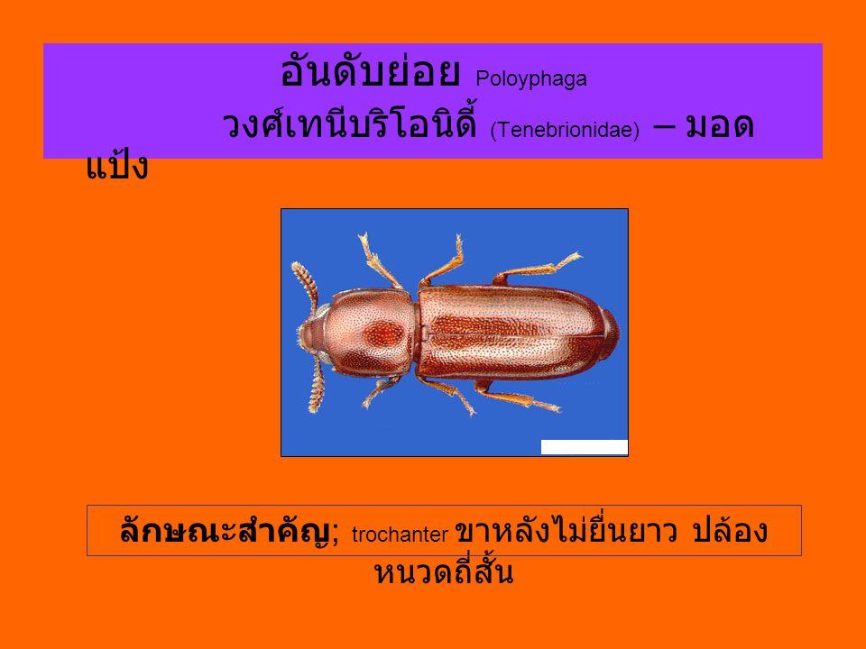 อันดับย่อย Poloyphaga วงศ์เทนีบริโอนิดี้ (Tenebrionidae) – มอด แป้ง ลักษณะสำคัญ ; trochanter ขาหลังไม่ยื่นยาว ปล้อง หนวดถี่สั้น