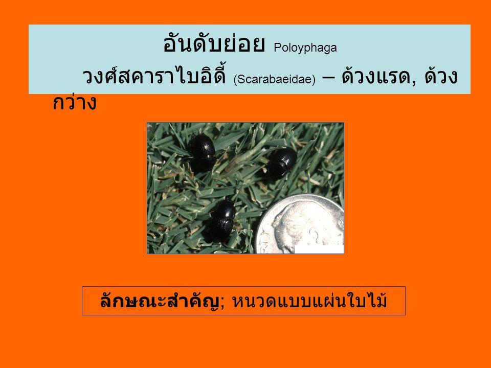 อันดับย่อย Poloyphaga วงศ์สคาราไบอิดี้ (Scarabaeidae) – ด้วงแรด, ด้วง กว่าง ลักษณะสำคัญ ; หนวดแบบแผ่นใบไม้