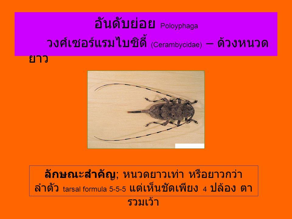 อันดับย่อย Poloyphaga วงศ์เซอร์แรมไบซิดี้ (Cerambycidae) – ด้วงหนวด ยาว ลักษณะสำคัญ ; หนวดยาวเท่า หรือยาวกว่า ลำตัว tarsal formula 5-5-5 แต่เห็นชัดเพี