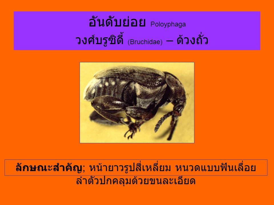 อันดับย่อย Poloyphaga วงศ์บรูซิดี้ (Bruchidae) – ด้วงถั่ว ลักษณะสำคัญ ; หน้ายาวรูปสี่เหลี่ยม หนวดแบบฟันเลื่อย ลำตัวปกคลุมด้วยขนละเอียด