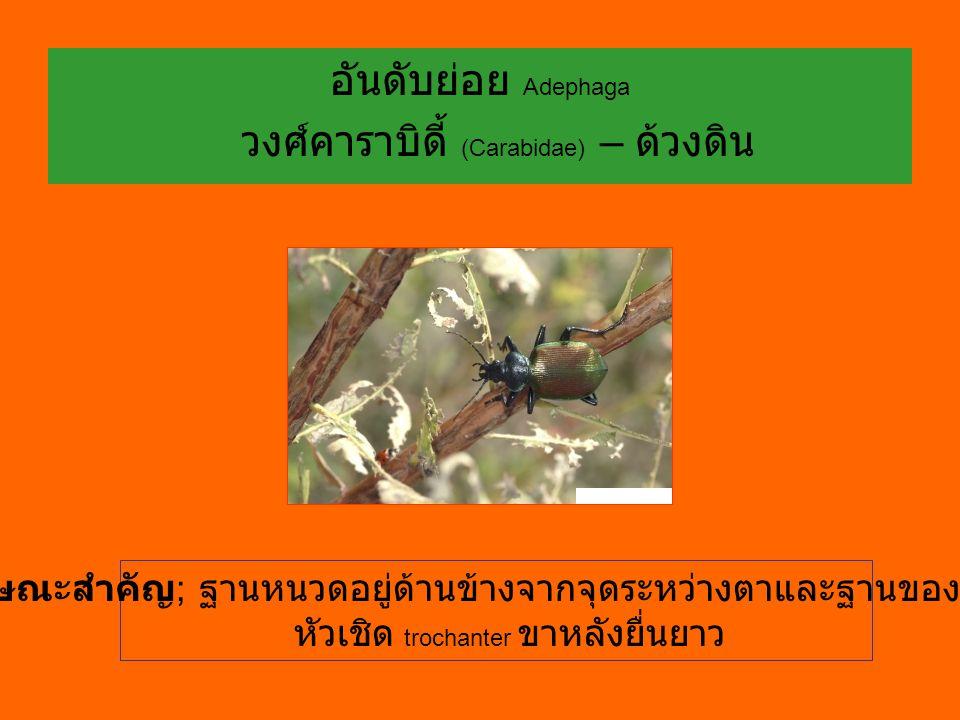 อันดับย่อย Adephaga วงศ์คาราบิดี้ (Carabidae) – ด้วงดิน ลักษณะสำคัญ ; ฐานหนวดอยู่ด้านข้างจากจุดระหว่างตาและฐานของกราม หัวเชิด trochanter ขาหลังยื่นยาว