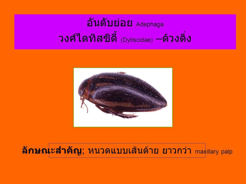 อันดับย่อย Adephaga วงศ์ไดทิสซิดี้ (Dytiscidae) – ด้วงดิ่ง ลักษณะสำคัญ ; หนวดแบบเส้นด้าย ยาวกว่า maxillary palp