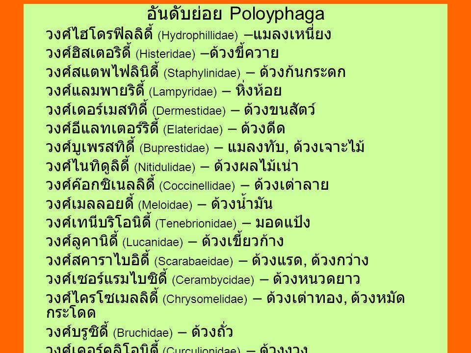 อันดับย่อย Poloyphaga วงศ์ไฮโดรฟิลลิดี้ (Hydrophillidae) – แมลงเหนี่ยง วงศ์ฮิสเตอริดี้ (Histeridae) – ด้วงขี้ควาย วงศ์สแตพไฟลินิดี้ (Staphylinidae) –
