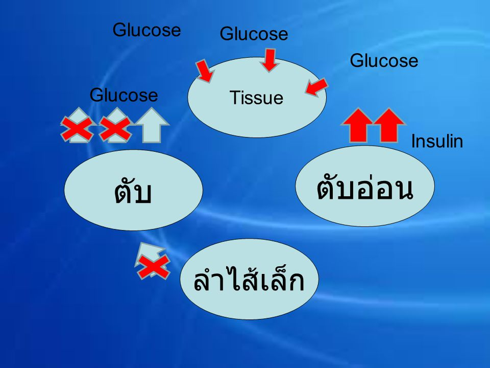 Tissue ลำไส้เล็ก ตับอ่อน ตับ Glucose Insulin