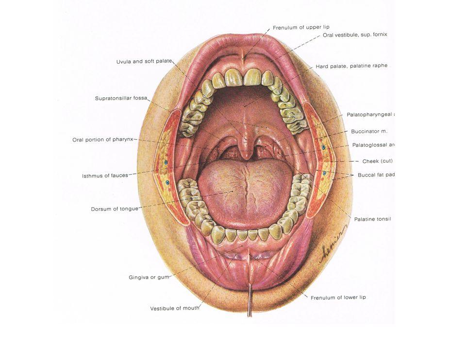 ลำไส้ใหญ่ ลำไส้ใหญ่ (large intestine) มีสามส่วนดังนี้ กระพุ้งไส้ใหญ่ กระพุ้งไส้ใหญ่ หรือ ซีกัม (cecum) ( เป็นที่ อยู่ของ ไส้ติ่ง (vermiform appendix)) ไส้ติ่ง ไส้ใหญ่ ไส้ใหญ่ (colon) ประกอบด้วย ไส้ใหญ่ส่วนขึ้น ไส้ใหญ่ส่วนขึ้น (ascending colon) ไส้ใหญ่ส่วนขวาง ไส้ใหญ่ส่วนขวาง (transverse colon) ไส้ใหญ่ส่วนลง ไส้ใหญ่ส่วนลง (descending colon) ไส้ใหญ่ส่วนคด ไส้ใหญ่ส่วนคด (sigmoid flexure) ไส้ตรง ไส้ตรง (rectum) ทวารหนัก ทวารหนัก (anus)