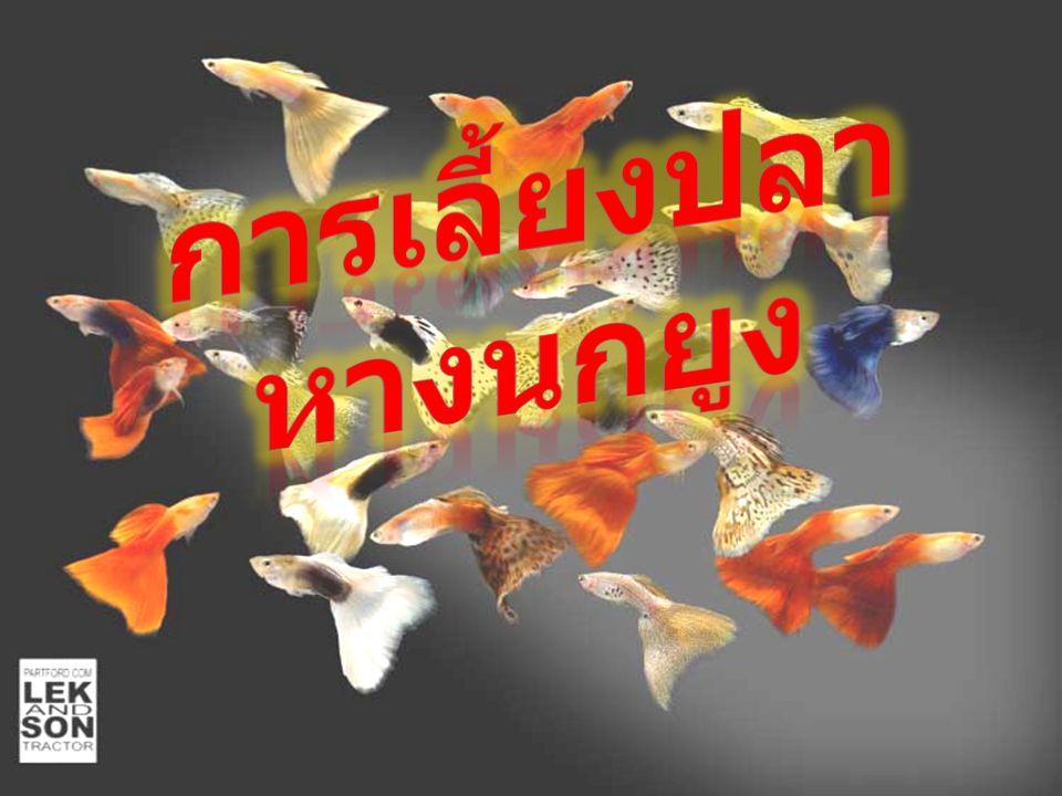คัดขนาดและแยกเพศปลา นำไปแยก เลี้ยงในบ่ออัตรา 200-300 ตัว / ลบ.