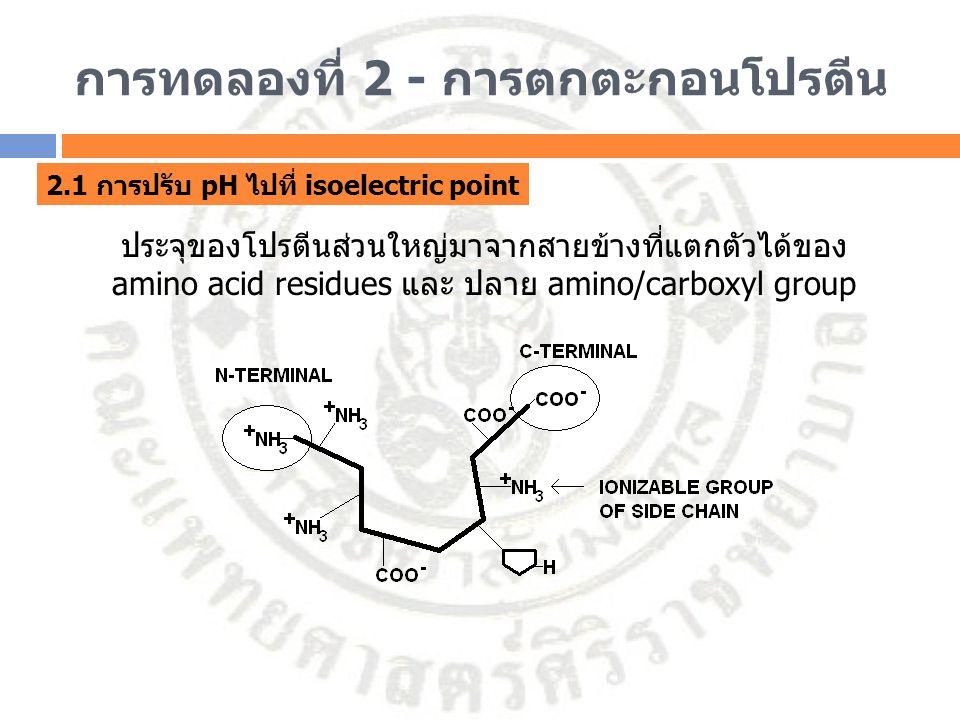 การทดลองที่ 2 - การตกตะกอนโปรตีน 2.1 การปรับ pH ไปที่ isoelectric point ประจุของโปรตีนส่วนใหญ่มาจากสายข้างที่แตกตัวได้ของ amino acid residues และ ปลาย