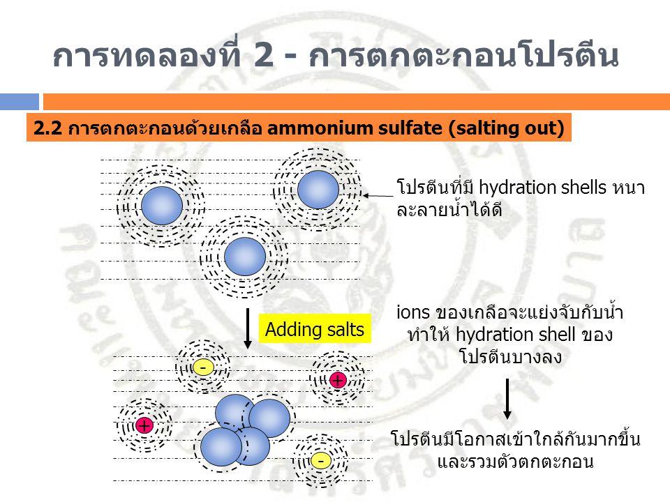 การทดลองที่ 2 - การตกตะกอนโปรตีน 2.2 การตกตะกอนด้วยเกลือ ammonium sulfate (salting out) โปรตีนที่มี hydration shells หนา ละลายน้ำได้ดี + - - + Adding