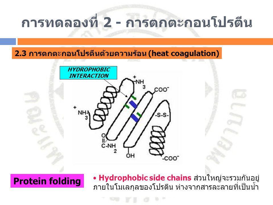 การทดลองที่ 2 - การตกตะกอนโปรตีน 2.3 การตกตะกอนโปรตีนด้วยความร้อน (heat coagulation) HYDROPHOBIC INTERACTION Protein folding Hydrophobic side chains ส