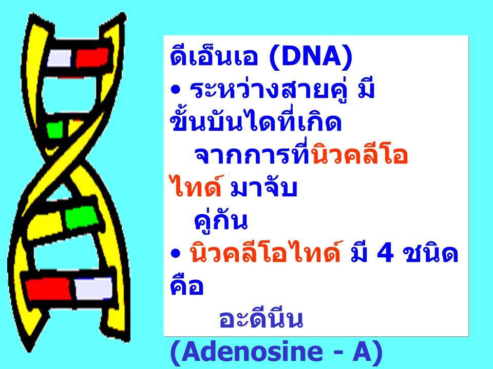 ดีเอ็นเอ (DNA) ระหว่างสายคู่ มี ขั้นบันไดที่เกิด จากการที่นิวคลีโอ ไทด์ มาจับ คู่กัน นิวคลีโอไทด์ มี 4 ชนิด คือ อะดีนีน (Adenosine - A) ไซธีดีน (Cytidine - C) ไธทิมีน (Thymidine - T) กัวนีน (Guanosine - G)