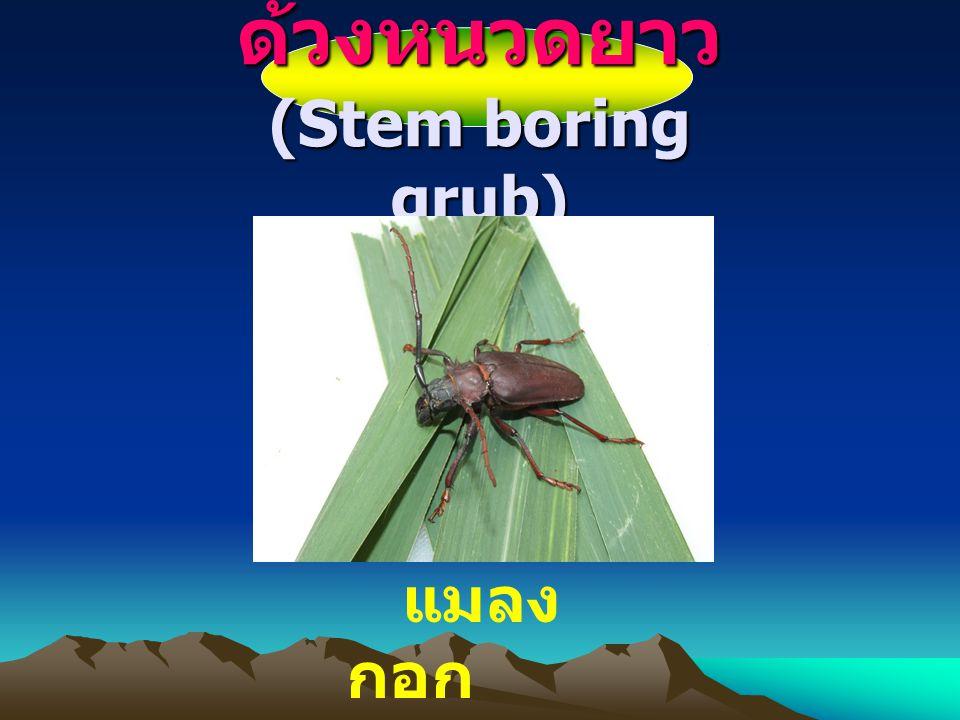 ความสำคั ญ เป็นแมลงศัตรูอ้อยที่สำคัญ ทำ ความเสียหายแก่อ้อยอย่างมาก โดยเฉพาะอย่างยิ่งในระยะที่เป็น ตัวหนอน แพร่กระจายและทำลาย เป็นบริเวณกว้าง ทำให้ผลผลิต อ้อยปลูกลดลง 13-43 เปอร์เซ็นต์ น้ำตาลลดลง 11-46 เปอร์เซ็นต์ ส่วนในอ้อยตอเสียผลผลิต ประมาณ 54 เปอร์เซ็นต์ น้ำตาล ลดลง 57 เปอร์เซ็นต์