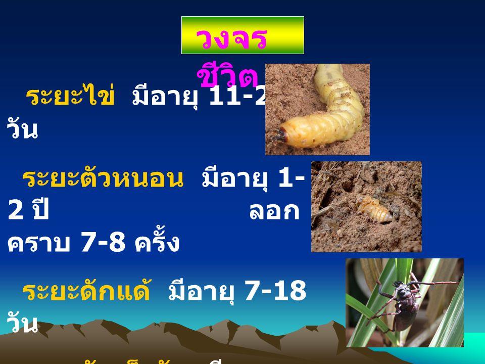 วงจร ชีวิต ระยะไข่ มีอายุ 11-27 วัน ระยะตัวหนอน มีอายุ 1- 2 ปี ลอก คราบ 7-8 ครั้ง ระยะดักแด้ มีอายุ 7-18 วัน ระยะตัวเต็มวัย มีอายุ 6-20 วัน