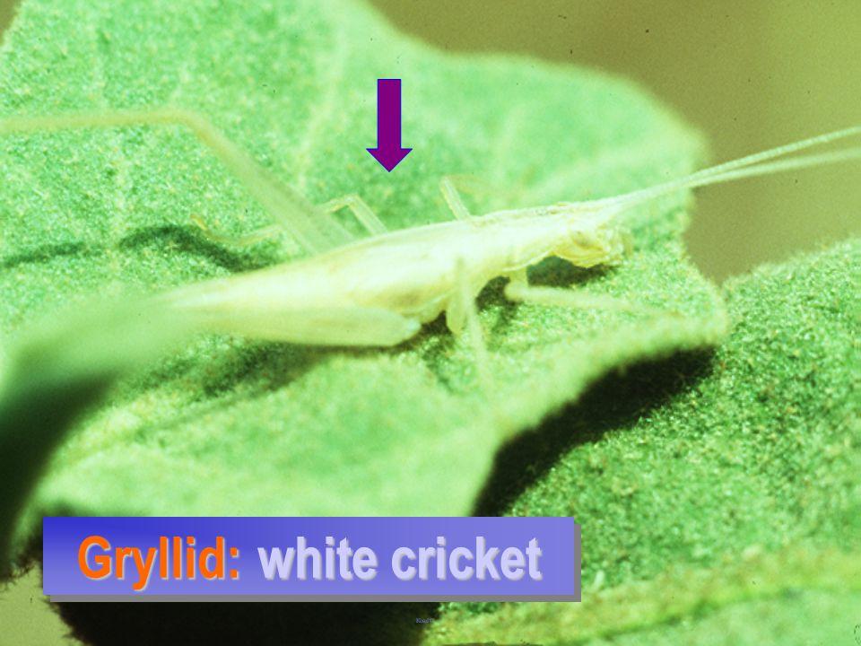 Gryllid: white