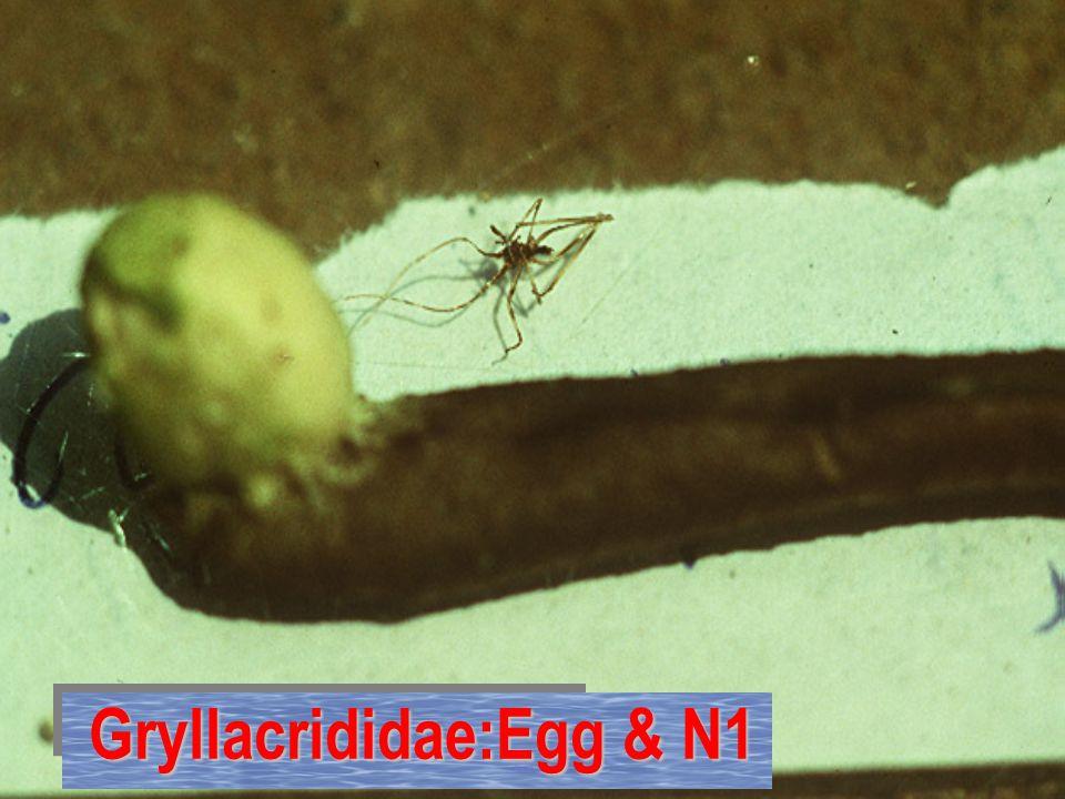 Gryllacrididae: egg sac