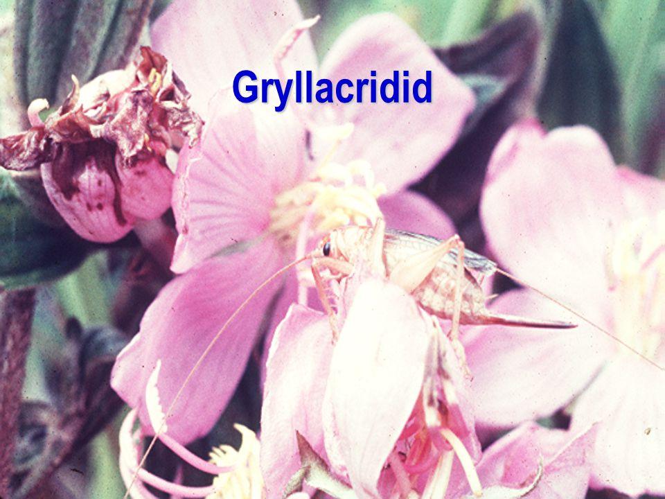 Gryllacridid