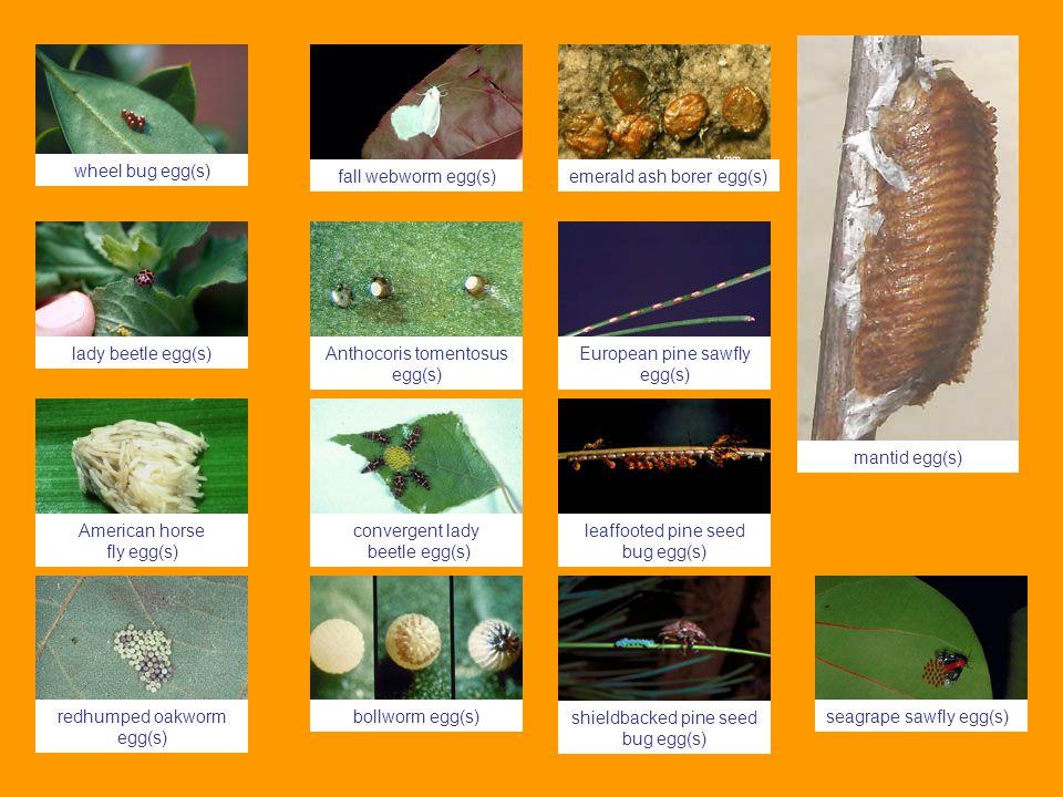 emerald ash borer egg(s) Anthocoris tomentosus egg(s) European pine sawfly egg(s) bollworm egg(s)seagrape sawfly egg(s) shieldbacked pine seed bug egg