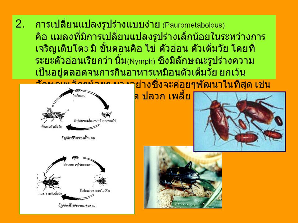 2. การเปลี่ยนแปลงรูปร่างแบบง่าย (Paurometabolous) คือ แมลงที่มีการเปลี่ยนแปลงรูปร่างเล็กน้อยในระหว่างการ เจริญเติบโต 3 มี ขั้นตอนคือ ไข่ ตัวอ่อน ตัวเต