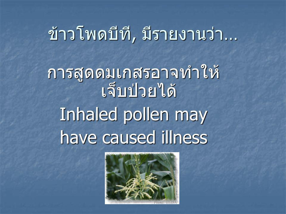 ข้าวโพดบีที, มีรายงานว่า… การสูดดมเกสรอาจทำให้ เจ็บป่วยได้ Inhaled pollen may have caused illness